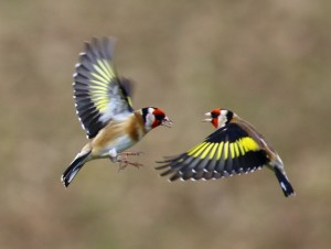 Goldfinch quarrelling © Lewis Bates